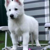 Puppies of a White Swiss Shepherd Dog, в г.Дубай