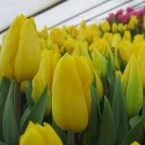 Сибирские тюльпаны оптом, в Новосибирске