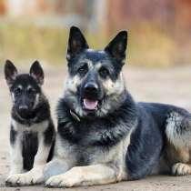 Продаю щенков Восточно-европейской овчарки!, в г.Ашхабад