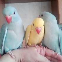 Ожереловые попугаи - крамера, в Москве