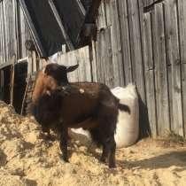 Продам чешского козла, в Бору