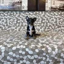 Чихуахуа щенок, в Москве