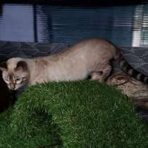 Bengal boy, lynx, в Москве