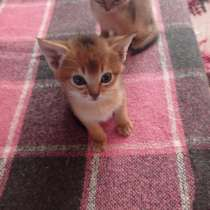 Абиссинские котята, в г.Эссен