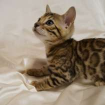 Elite Bengal Kittens, в Курчатове