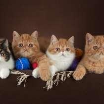 Котята экзотические короткошерстные, в Москве