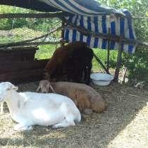 Продаю трех баранов и козла, в г.Бишкек