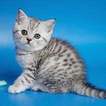 Шотландские короткошерстные котята, в Москве
