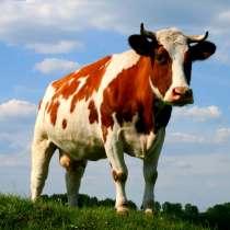 Продам срочно коров, в г.Макеевка
