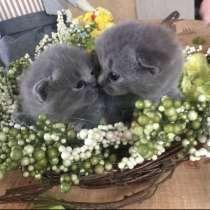 Продаються кошенята британці, в г.Стрый