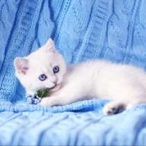 British Shorthair Femele ns 1133.Sapphire eyes, в г.Дубай