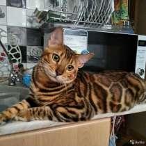 Бенгальские котята с родословной, в Санкт-Петербурге