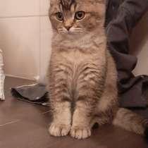 Милые шотландские/британский котята, в г.Хидденхаузен