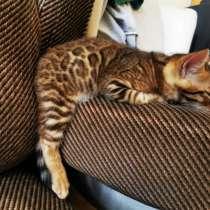 Бенгальский котенок, в г.Алматы