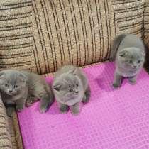 Продаются шотландские котята, в г.Ришон-ле-Цион