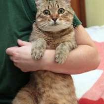 Ласковый нежный котик с очаровательными глазами, в Санкт-Петербурге
