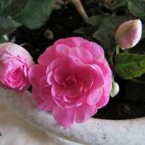 Бальзамин махровый розовый, ампельная форма, отростки, в Москве