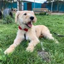 Солнечный молодой пес Жан-Пьер породы лейкленд-терьер в дар, в Москве