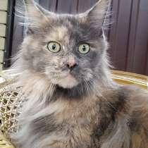 Кошка мейн-кун, в г.Луганск