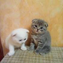 Шотландский Котёнок, в Воронеже