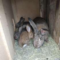 Продам кроликов, в Калининграде