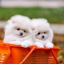 Продаются щенки померанский шпиц, в г.Ташкент