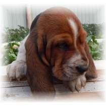 Собака знаменитого детектива Шерлока Холмса (Бассет-хаунд), в Чите