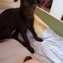 Продам щенка лабродора, в Орске