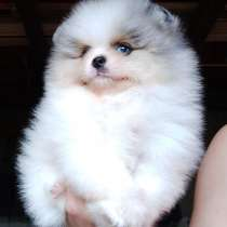 Pomeranian Boo rare color, в г.Майами