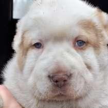 Впервые в Эстонии порода собак Нагази Грузинская горная, в г.Кохтла-Ярве