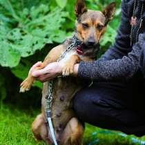 Компактная собачка с лисьей мордочкой, в Санкт-Петербурге