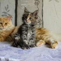 Котята мейн-кун шикарных окрасов, в Тюмени
