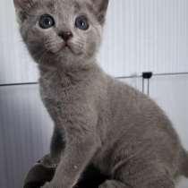Русские голубые котята, в Саранске