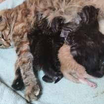 Котята мейн-кун родились 14 февраля 2021, в г.Гомель