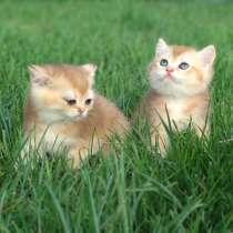 Британские котята, в г.Запорожье
