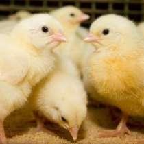 Инкубационное яйцо бройлера КОББ-500, РОСС-308, РОСС-708, в г.Рубежное