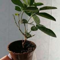 Лимон Пандероза Домашний черенок плодоносящий цветущий, в Электрогорске