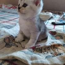 Шотландских котят, в г.Орша