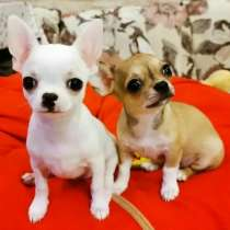 Приму в дар или куплю щенка чихуахуа, в Москве