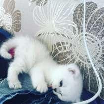 Британский котенок шоу класса, в Москве