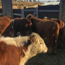 Реализуем бычков породы герефорд, в Магнитогорске