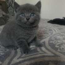 Продаю британских котят, в г.Гродно