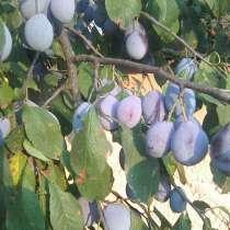 Продам плоды сливы угорка, в г.Рубежное