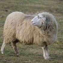 Племенные овцы Белый бергсчаф (Скот из Европы), в Красноярске