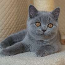 Британские котята, в Нижнем Тагиле