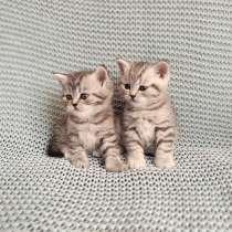 Шотландские котята, в Йошкар-Оле