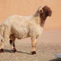 Племенные овцы Авасси (Скот из Европы класса Элита), в г.Ереван