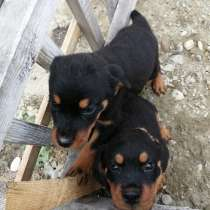 Чудесные щенки ротвейлера родились 8 марта, в Ангарске