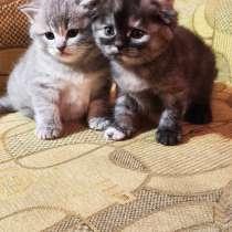 Шотландские вислоухие котята, в г.Светловодск