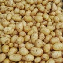 Молодая картошка, в Дмитрове